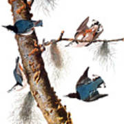 Audubon: Nuthatch Poster by Granger