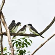 Baby Birds - Eastern Kingbird Family Poster by Christina Rollo