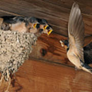 Barn Swallows At Nest Poster by Scott  Linstead