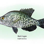 Black Crappie Poster by Ralph Martens