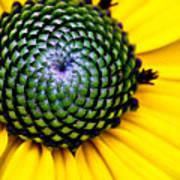 Black Eyed Susan Goldsturm Flower Poster by Ryan Kelly
