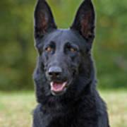 Black German Shepherd Dog Poster by Sandy Keeton