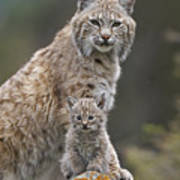 Bobcat Mother And Kitten North America Poster by Tim Fitzharris