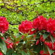 Botanical Garden Art Prints Red Rhodies Trees Baslee Troutman Poster by Baslee Troutman