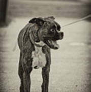 Boxer Poster by Off The Beaten Path Photography - Andrew Alexander