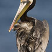 Brown Pelican Preening La Jolla Poster by Sebastian Kennerknecht
