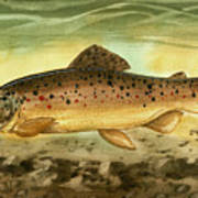 Brown Trout Poster by Sean Seal
