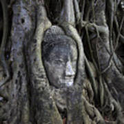 Buddha Head In Tree Poster by Adrian Evans