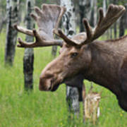 Bull Moose Portrait Poster by Cathy  Beharriell