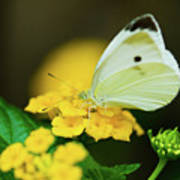 Cabbage White Butterfly Poster by Betty LaRue
