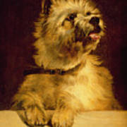 Cairn Terrier   Poster by George Earl