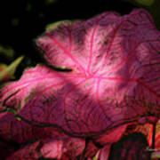 Caladium Mystery Poster by Suzanne Gaff