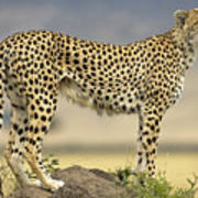 Cheetah Acinonyx Jubatus On Termite Poster by Winfried Wisniewski