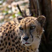 Cheetah Gazing Poster by Douglas Barnett