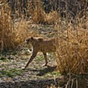 Cheetah  In The Brush Poster by Douglas Barnett