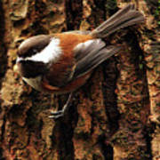 Chestnut-backed Chickadee On Tree Trunk Poster by Sharon Talson
