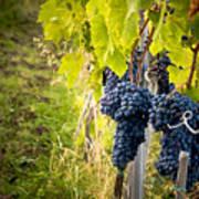 Chianti Grapes Poster by Jim DeLillo