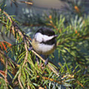 Chickadee-12 Poster by Robert Pearson