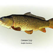 Common Carp Poster by Ralph Martens