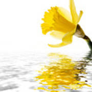Daffodil Reflected Poster by Jane Rix