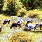 Dairy Cows In A Summer Pasture Poster by Janine Riley