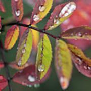 Dew On Wild Rose Leaves In Fall Poster by Darwin Wiggett