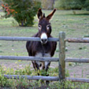 Donkey At The Fence Poster by D Winston