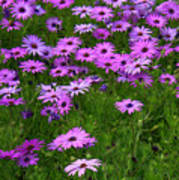 Dreaming Of Purple Daisies  Poster by Carol Groenen