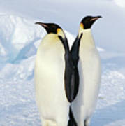 Emperor Penguins, Weddell Sea Poster by Joseph Van Os