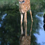 Fawn Reflection Poster by Sandra Bronstein