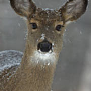 Female White-tailed Deer, Odocoileus Poster by John Cancalosi