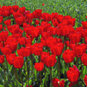 Field Of Red Tulips Poster by Sharon Talson