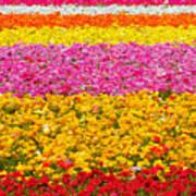 Flower Fields Carlsbad Ca Giant Ranunculus Poster by Christine Till