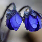 Flowers Fresh Rain Droplet Poster by Romeo Koitmae