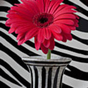Gerbera Daisy In Striped Vase Poster by Garry Gay