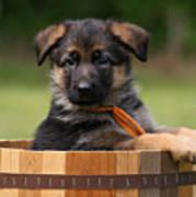 German Shepherd Puppy In Planter Poster by Sandy Keeton