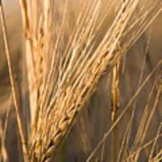 Golden Grain Poster by Cindy Singleton
