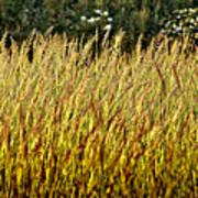 Golden Grasses Poster by Meirion Matthias