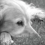 Golden Retriever Dog In The Cool Grass Monochrome Poster by Jennie Marie Schell