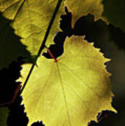 Grapevine In The Back Lighting Poster by Michal Boubin