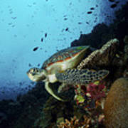 Green Sea Turtle Resting On A Plate Poster by Mathieu Meur