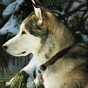 Handsome Husky Nanuk Poster by Marjorie Imbeau