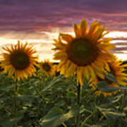 Happiness Is A Field Of Sunflowers Poster by Debra and Dave Vanderlaan