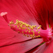 Hardy Hibiscus Poster by Jeannie Burleson