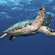 Hawksbill Sea Turtle In Mid-water Poster by Karen Doody