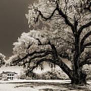 Historic Drayton Hall In Charleston South Carolina Live Oak Tree Poster by Dustin K Ryan