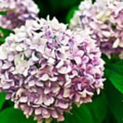 Hydrangea Purple Poster by Ryan Kelly