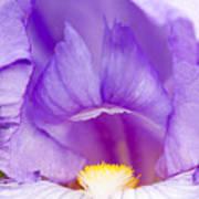 Iris Blossom Poster by Dina Calvarese
