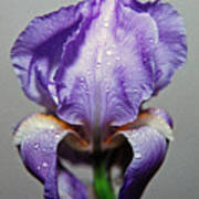 Iris In The Rain Poster by Paul  Trunk
