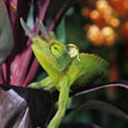 Jacksons Chameleon On Leaf Poster by Dave Fleetham - Printscapes